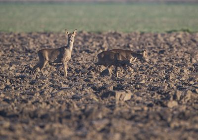 Three Roe Deer foraging in the early morning sun