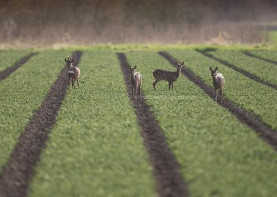 Roe Deer look up after eating from the flower bulbs…