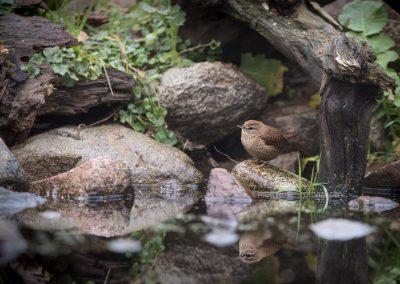 Eurasian Wren foraging between the stones of a pont