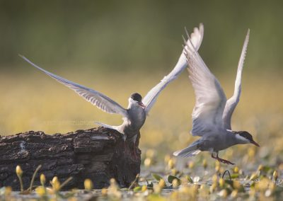 A pair of Whiskered Terns making the first steps of their love game…