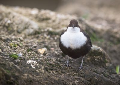 White-throated Dipper posing right in front…