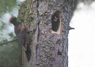 Male Black Woodpecker arrives to feed the hungry young ones