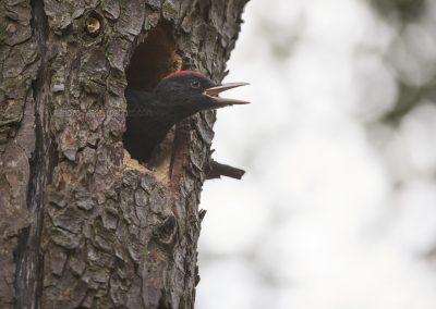 Juvenile Black Woodpecker calls his parents