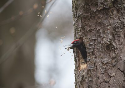 Black Woodpecker throws out pieces of wood from the newly-cut nesthole…