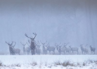 Group of Red Deer Stags are coming out the cover of the forest when the snow falls down frequently