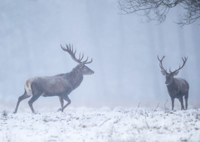 Two Red Deer stags in the snow