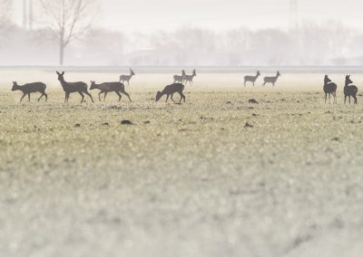 Group of Roe deer foraging in the morning dew