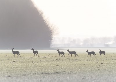 A group of Roe Deer listening after running in the morning dew while steam is coming out their noses…