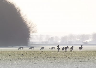 Group of Roe Deer foraging in backlight at dawn