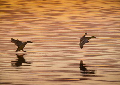 Two Mallards about to land in the water in strong backlight at daybreak