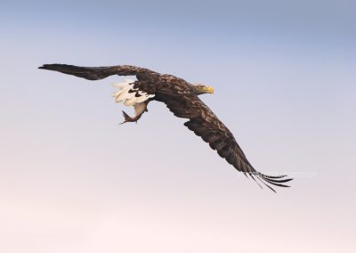 Adult White-tailed Eagle flies of with a catched fish in his claws